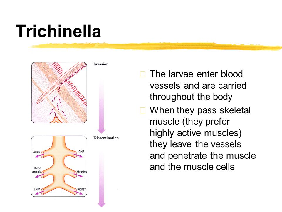 Trichinella zThe larvae enter blood vessels and are carried throughout the body zWhen they pass skeletal muscle (they prefer highly active muscles) they leave the vessels and penetrate the muscle and the muscle cells