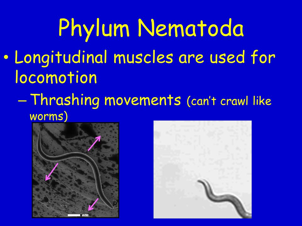 Phylum Nematoda Longitudinal muscles are used for locomotion – Thrashing movements (can't crawl like worms)