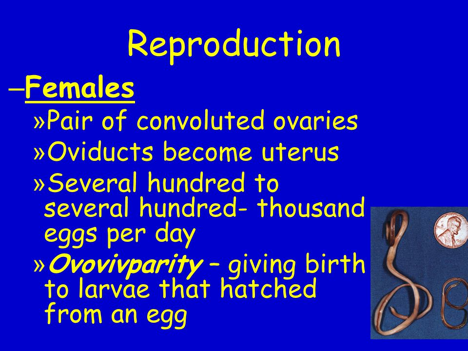 Reproduction – Females » Pair of convoluted ovaries » Oviducts become uterus » Several hundred to several hundred- thousand eggs per day » Ovovivparit