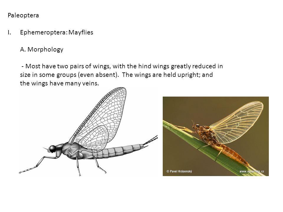 Paleoptera I.Ephemeroptera: Mayflies A. Morphology B. Basic Biology - eggs laid on surface of water