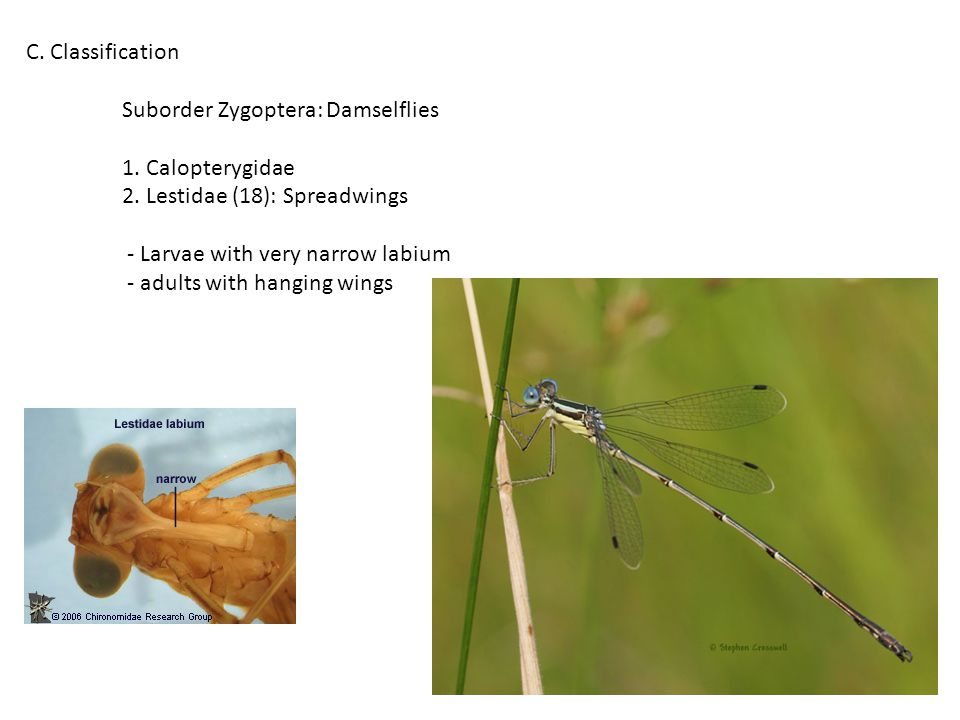 C. Classification Suborder Zygoptera: Damselflies 1.