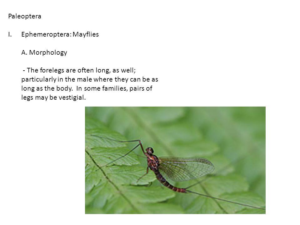 Paleoptera I.Ephemeroptera: Mayflies A.Morphology B.