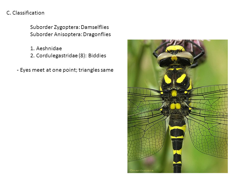 C. Classification Suborder Zygoptera: Damselflies Suborder Anisoptera: Dragonflies 1.