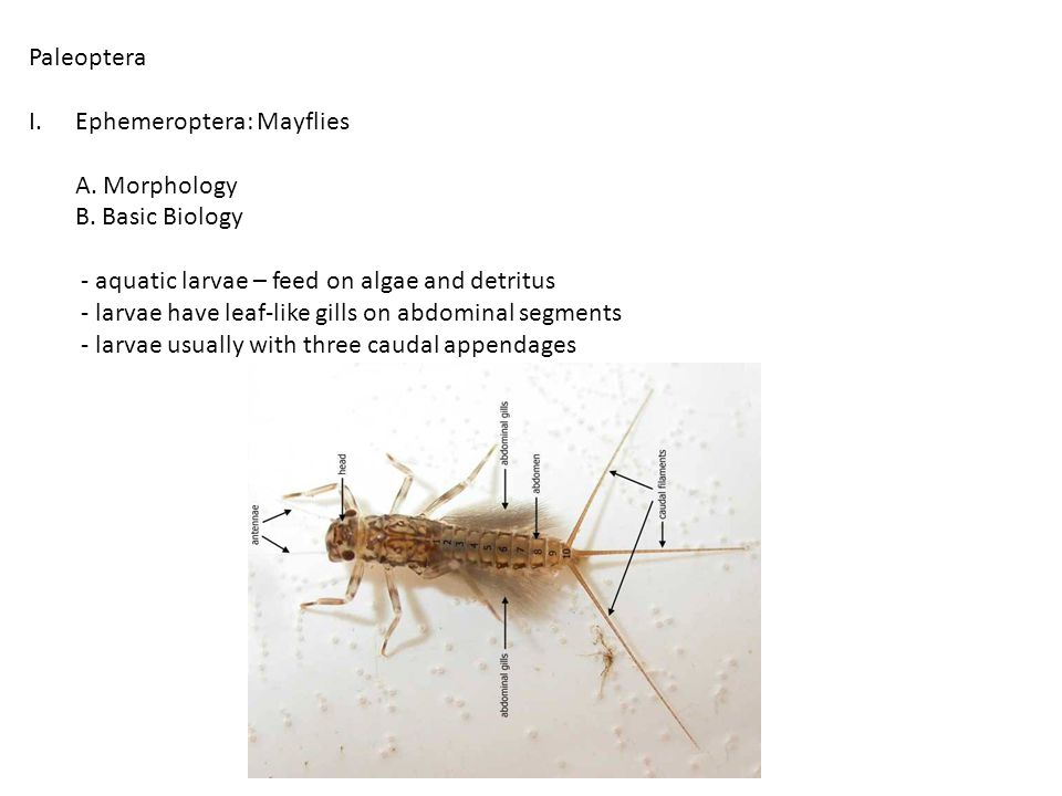 C.Classification Suborder Zygoptera: Damselflies 1.