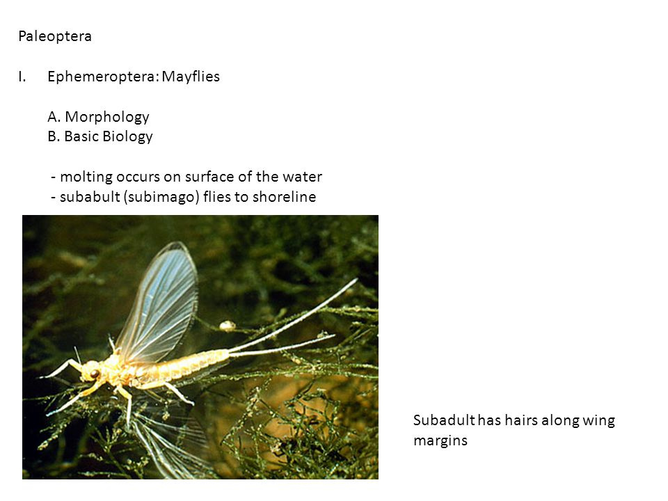 C.Classification Suborder Zygoptera: Damselflies Suborder Anisoptera: Dragonflies 1.