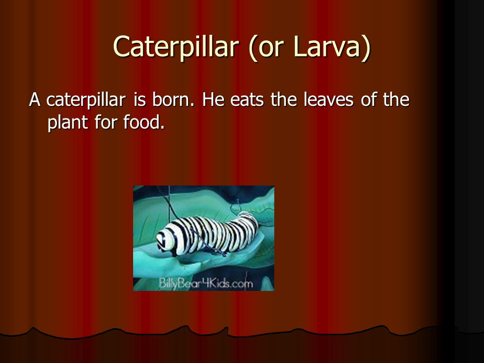 Caterpillar (or Larva) A caterpillar is born. He eats the leaves of the plant for food.