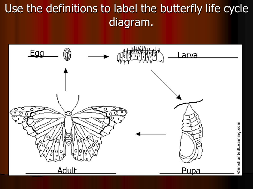 Use the definitions to label the butterfly life cycle diagram. Egg Larva PupaAdult