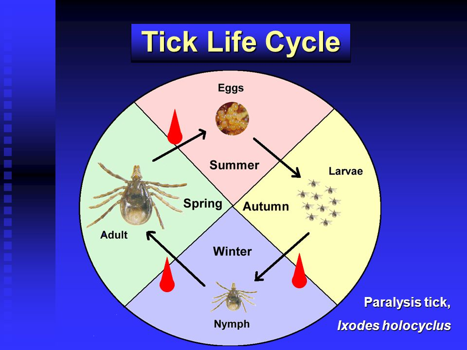 Tick Life Cycle Paralysis tick, Ixodes holocyclus