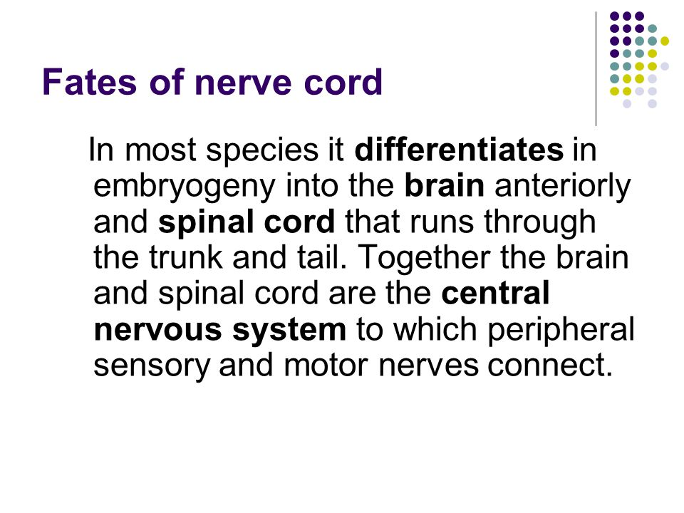 Fates of nerve cord In most species it differentiates in embryogeny into the brain anteriorly and spinal cord that runs through the trunk and tail.