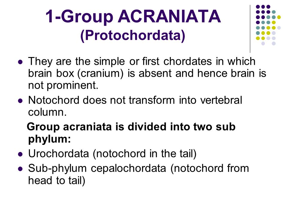 1-Group ACRANIATA (Protochordata) They are the simple or first chordates in which brain box (cranium) is absent and hence brain is not prominent.