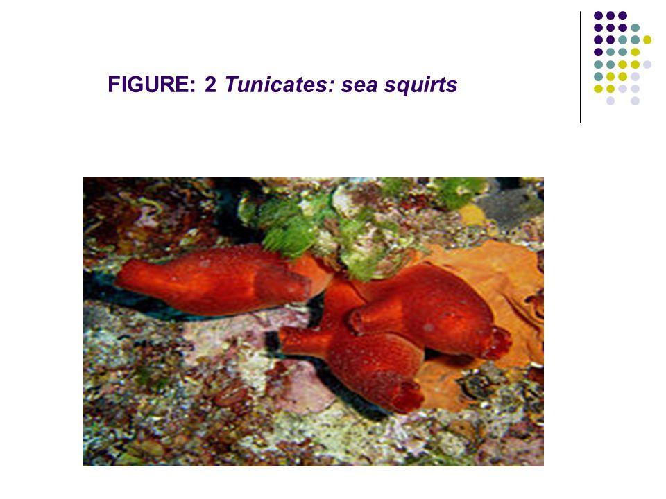 FIGURE: 2 Tunicates: sea squirts