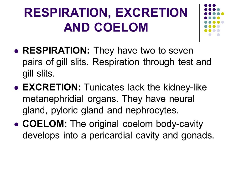 RESPIRATION, EXCRETION AND COELOM RESPIRATION: They have two to seven pairs of gill slits. Respiration through test and gill slits. EXCRETION: Tunicat