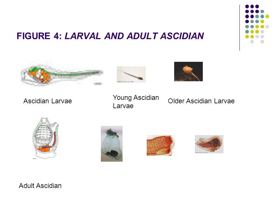 FIGURE 4: LARVAL AND ADULT ASCIDIAN Ascidian Larvae Young Ascidian Larvae Older Ascidian Larvae Adult Ascidian