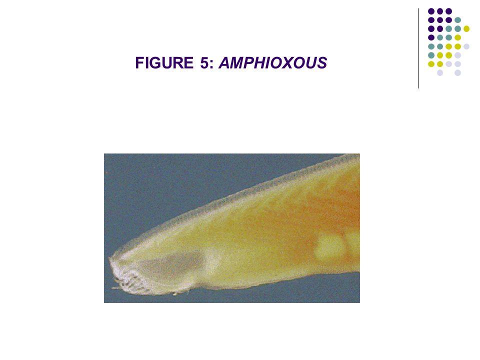FIGURE 5: AMPHIOXOUS