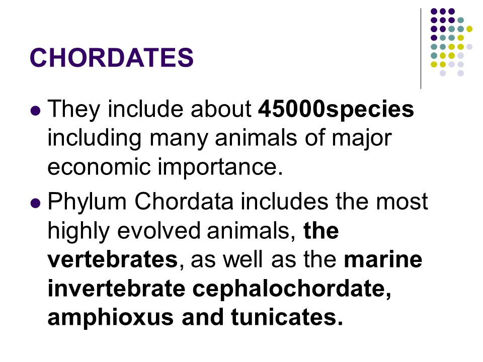 CHORDATES They include about 45000species including many animals of major economic importance. Phylum Chordata includes the most highly evolved animal