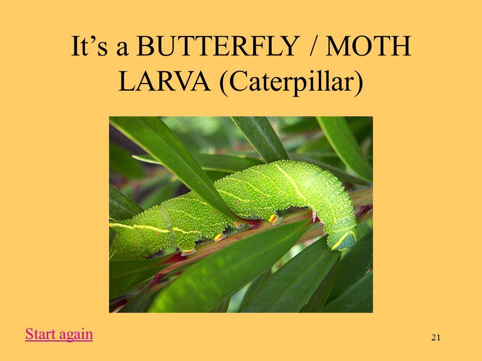 21 It's a BUTTERFLY / MOTH LARVA (Caterpillar) Start again