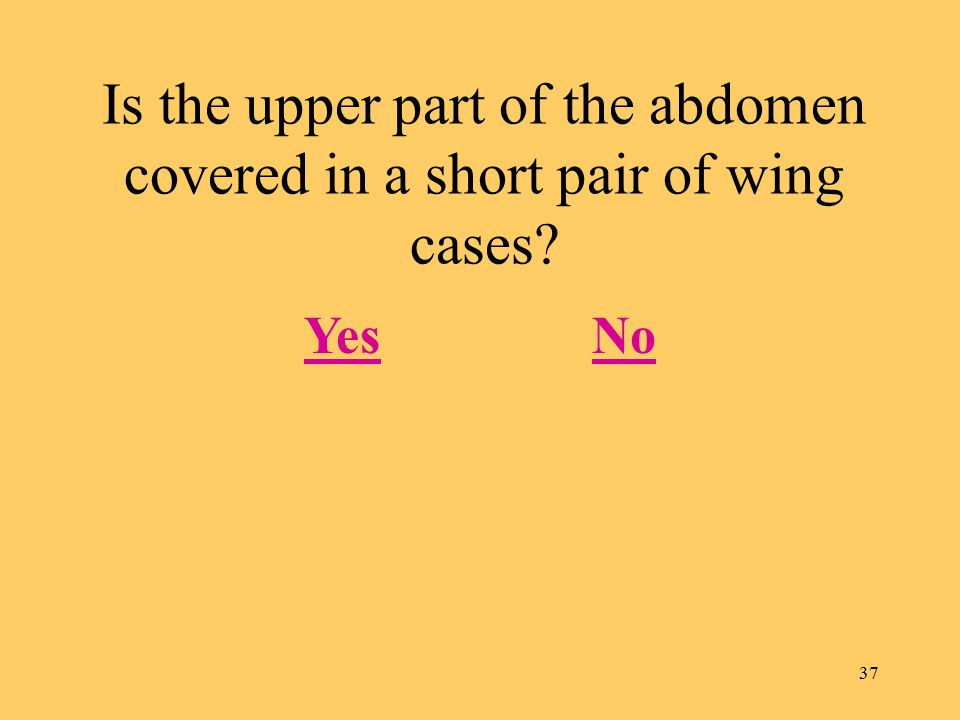 37 Is the upper part of the abdomen covered in a short pair of wing cases YesNo