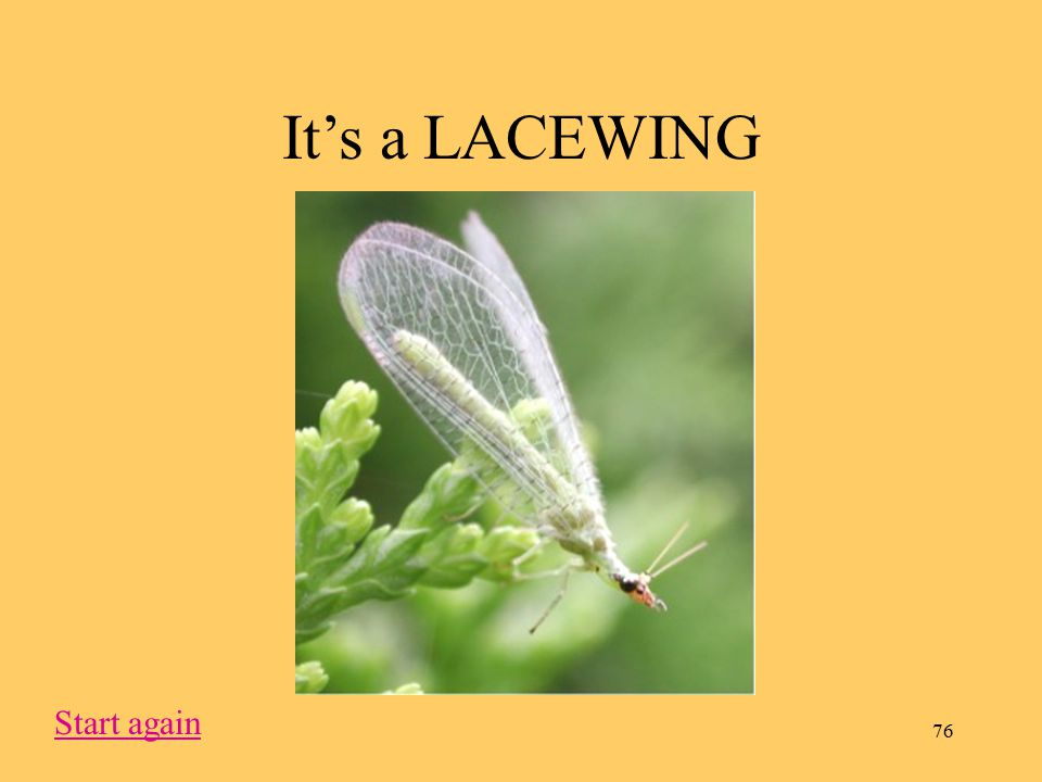 76 It's a LACEWING Start again