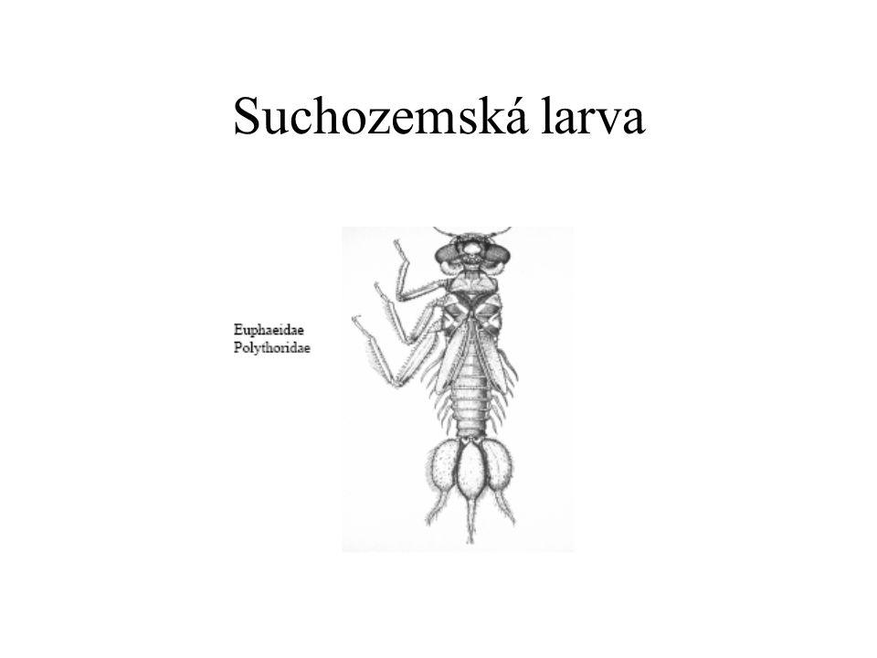 Suchozemská larva