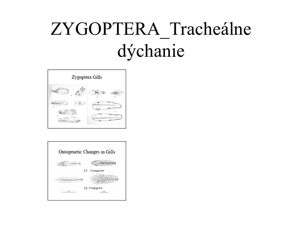 ZYGOPTERA_Tracheálne dýchanie