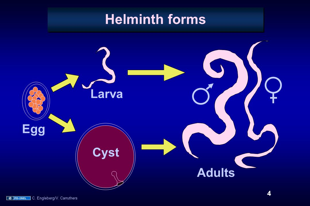Helminth forms Egg Cyst Larva Adults 4 C. Engleberg/V. Carruthers