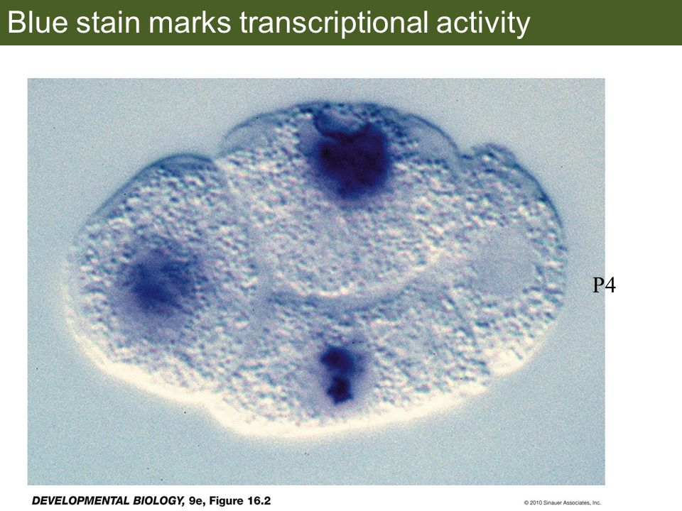 Blue stain marks transcriptional activity P4