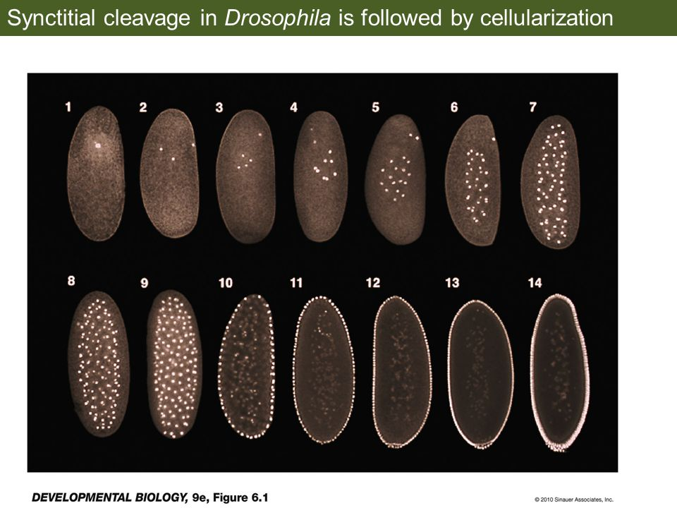 Synctitial cleavage in Drosophila is followed by cellularization