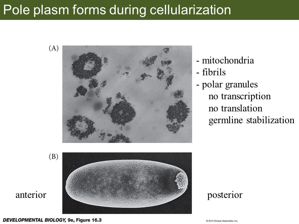 Pole plasm forms during cellularization anteriorposterior - mitochondria - fibrils - polar granules no transcription no translation germline stabilization