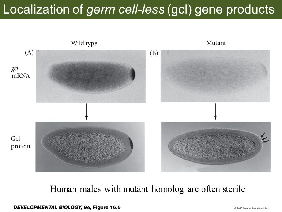 Localization of germ cell-less (gcl) gene products Human males with mutant homolog are often sterile