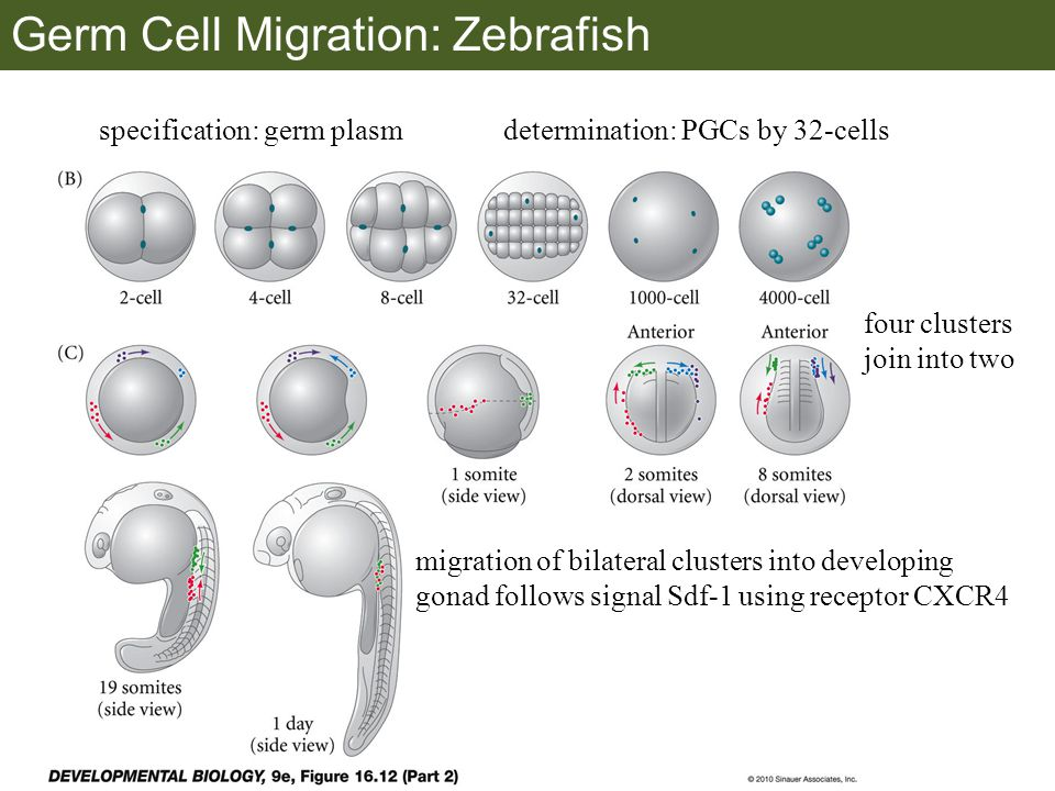 Germ Cell Migration: Zebrafish specification: germ plasmdetermination: PGCs by 32-cells four clusters join into two migration of bilateral clusters into developing gonad follows signal Sdf-1 using receptor CXCR4