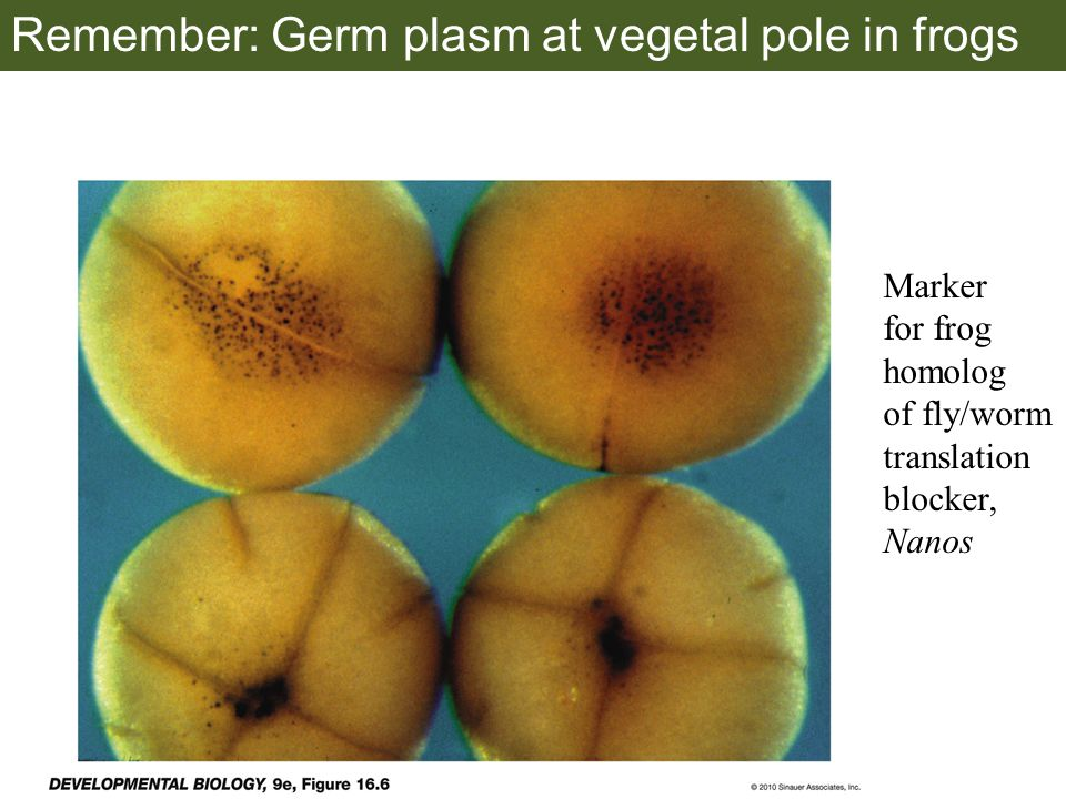 Remember: Germ plasm at vegetal pole in frogs Marker for frog homolog of fly/worm translation blocker, Nanos