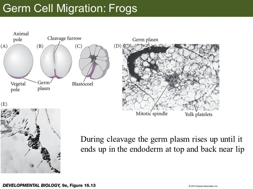 Germ Cell Migration: Frogs During cleavage the germ plasm rises up until it ends up in the endoderm at top and back near lip