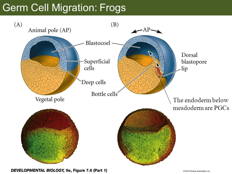 Germ Cell Migration: Frogs The endoderm below mesdoderm are PGCs