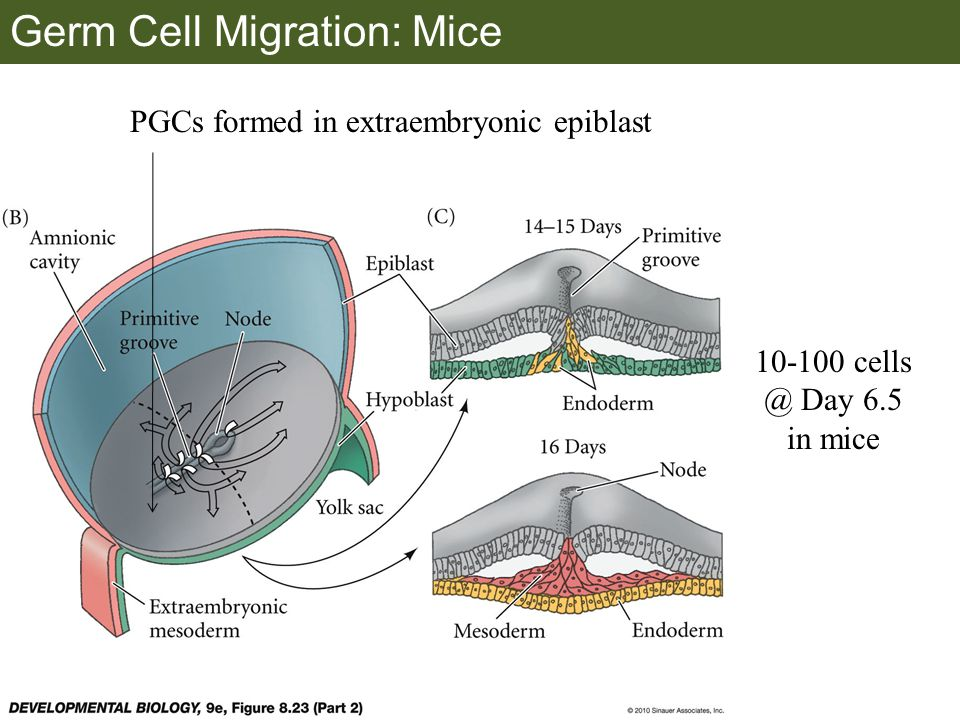 Germ Cell Migration: Mice PGCs formed in extraembryonic epiblast 10-100 cells @ Day 6.5 in mice