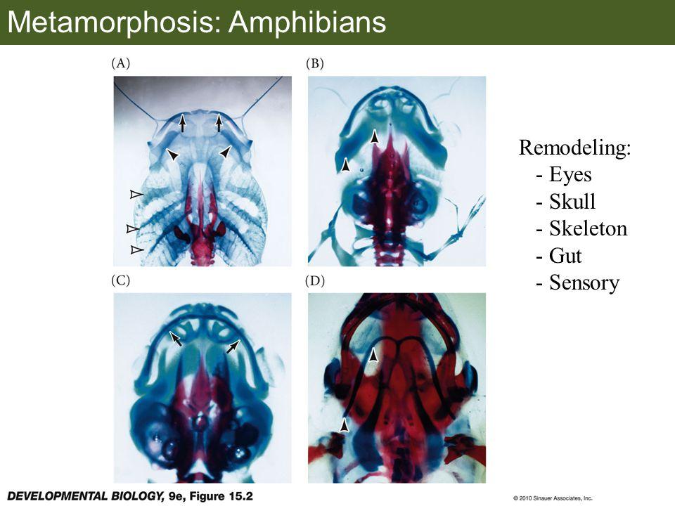 Metamorphosis: Amphibians Remodeling: - Eyes - Skull - Skeleton - Gut - Sensory