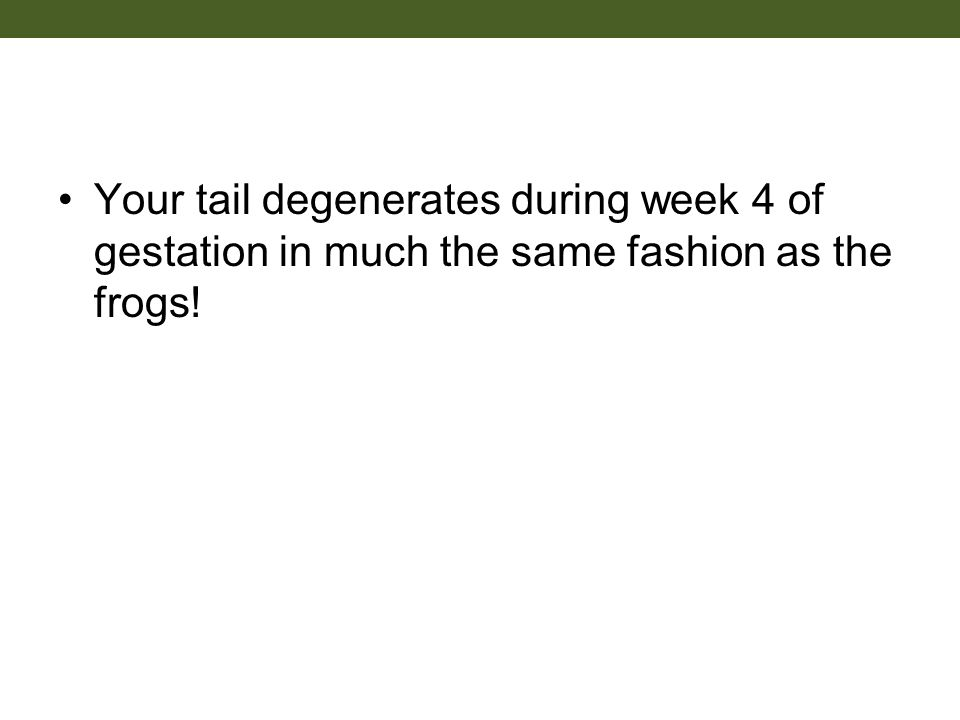 Your tail degenerates during week 4 of gestation in much the same fashion as the frogs!