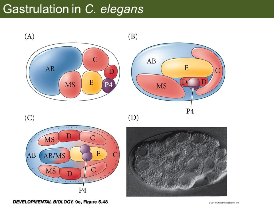 Gastrulation in C. elegans