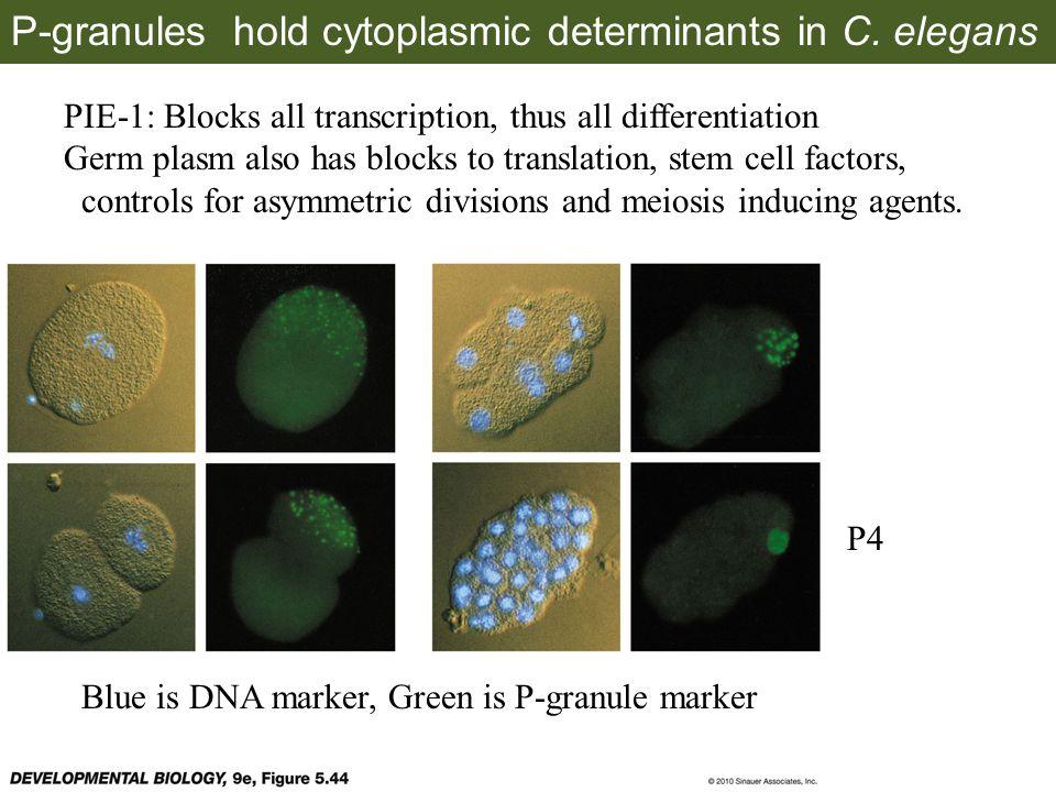 Blue stain marks transcriptional activity P4