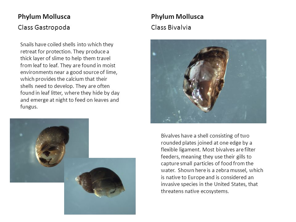 Phylum Mollusca Class Gastropoda Phylum Mollusca Class Bivalvia Snails have coiled shells into which they retreat for protection. They produce a thick