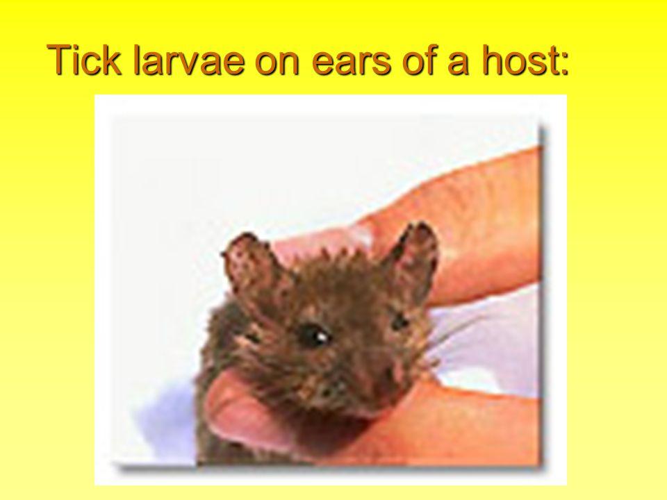 Tick larvae on ears of a host: