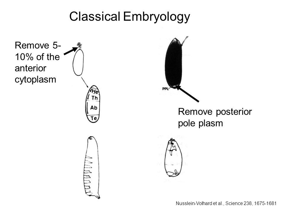 Remove posterior pole plasm Classical Embryology Remove 5- 10% of the anterior cytoplasm Nusslein-Volhard et al., Science 238, 1675-1681