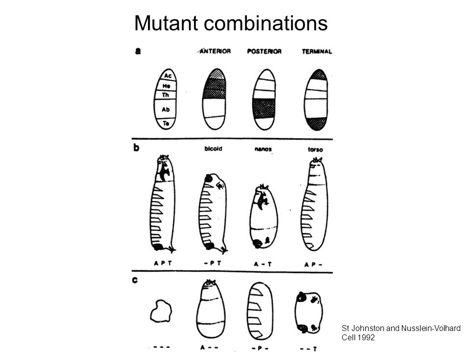 Mutant combinations St Johnston and Nusslein-Volhard Cell 1992