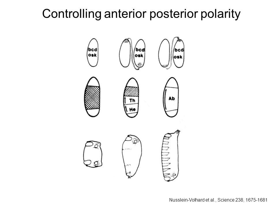 Controlling anterior posterior polarity Nusslein-Volhard et al., Science 238, 1675-1681