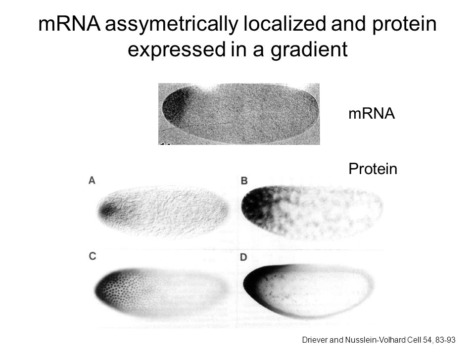 mRNA assymetrically localized and protein expressed in a gradient mRNA Protein Driever and Nusslein-Volhard Cell 54, 83-93