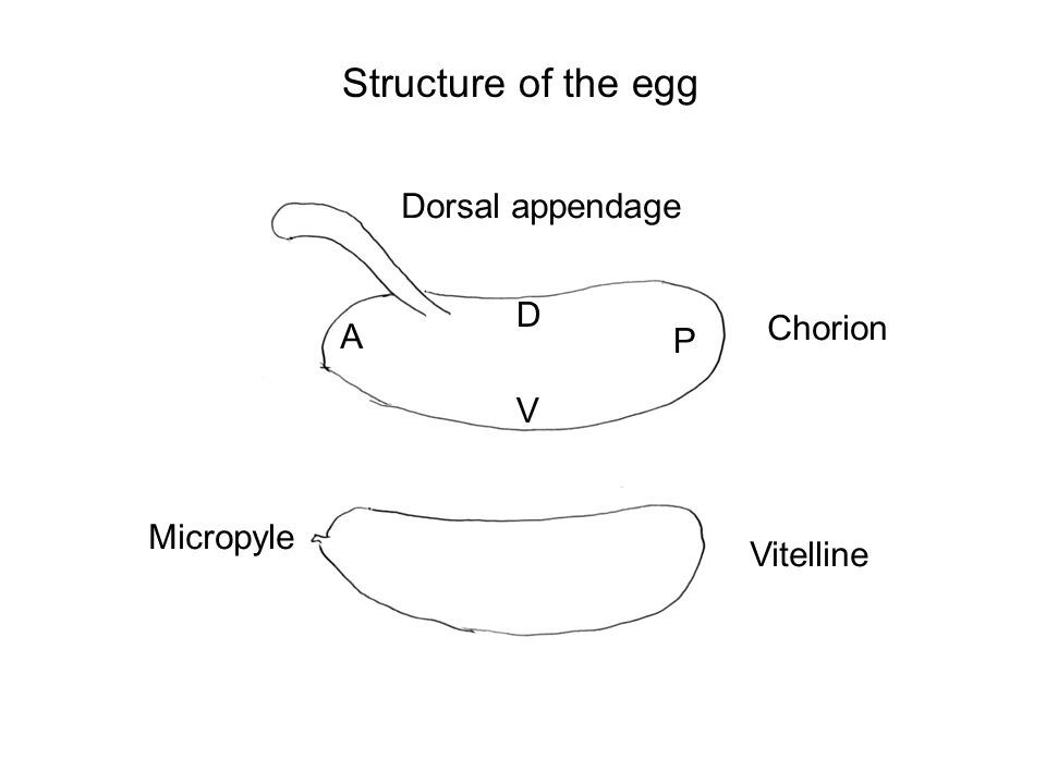Structure of the egg Dorsal appendage Chorion Vitelline Micropyle D V A P