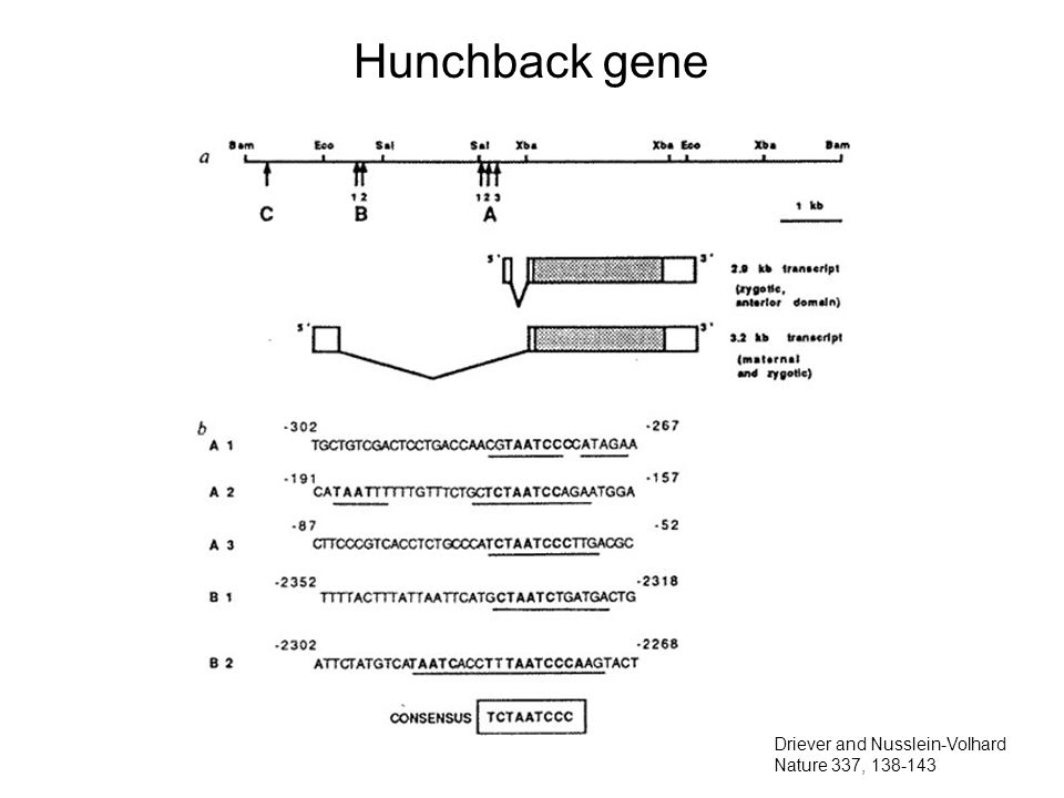 Hunchback gene Driever and Nusslein-Volhard Nature 337, 138-143