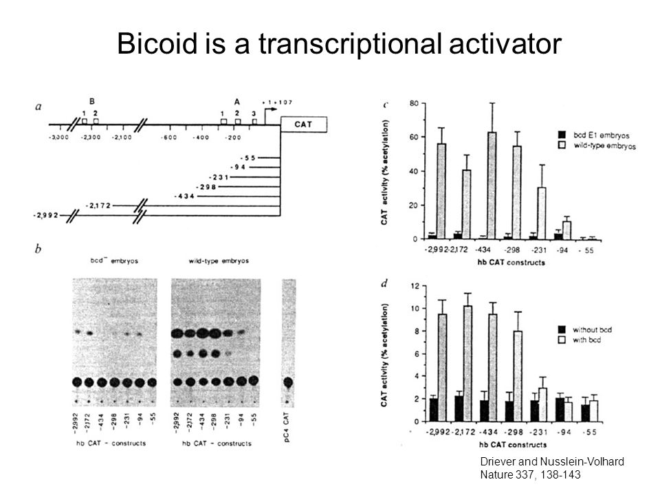 Bicoid is a transcriptional activator Driever and Nusslein-Volhard Nature 337,