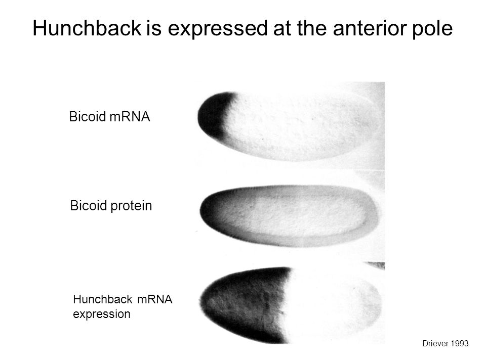 Bicoid mRNA Bicoid protein Hunchback mRNA expression Hunchback is expressed at the anterior pole Driever 1993