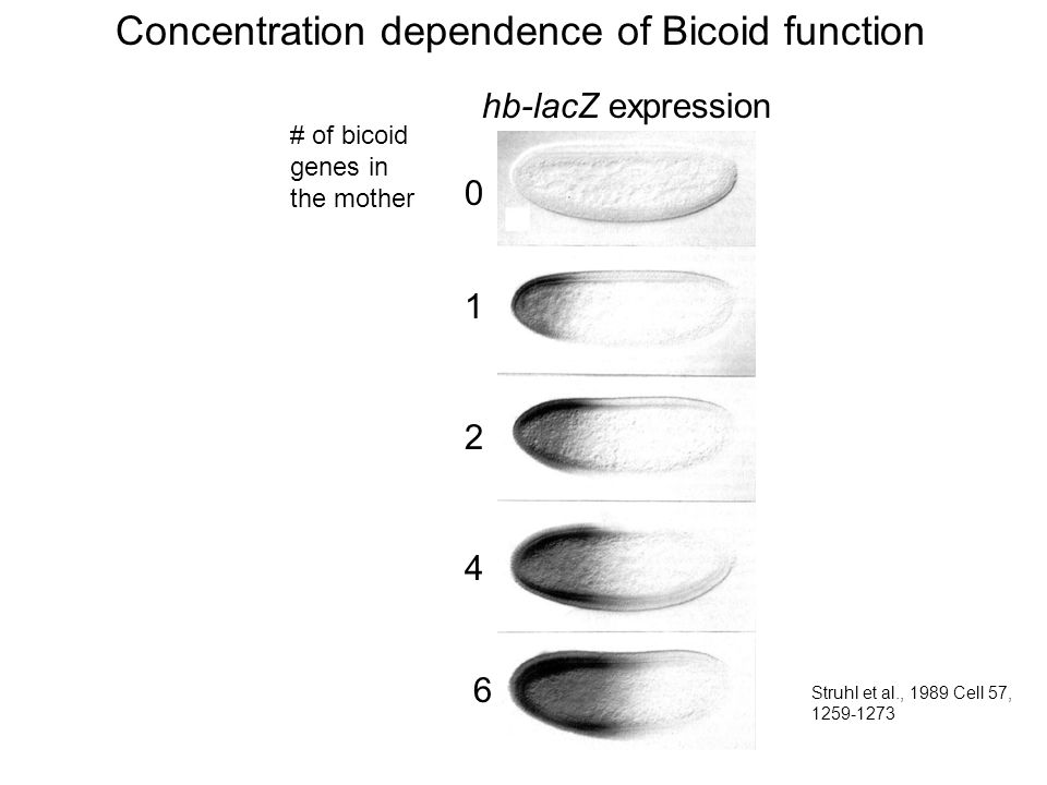 # of bicoid genes in the mother 1 2 0 4 6 hb-lacZ expression Concentration dependence of Bicoid function Struhl et al., 1989 Cell 57, 1259-1273