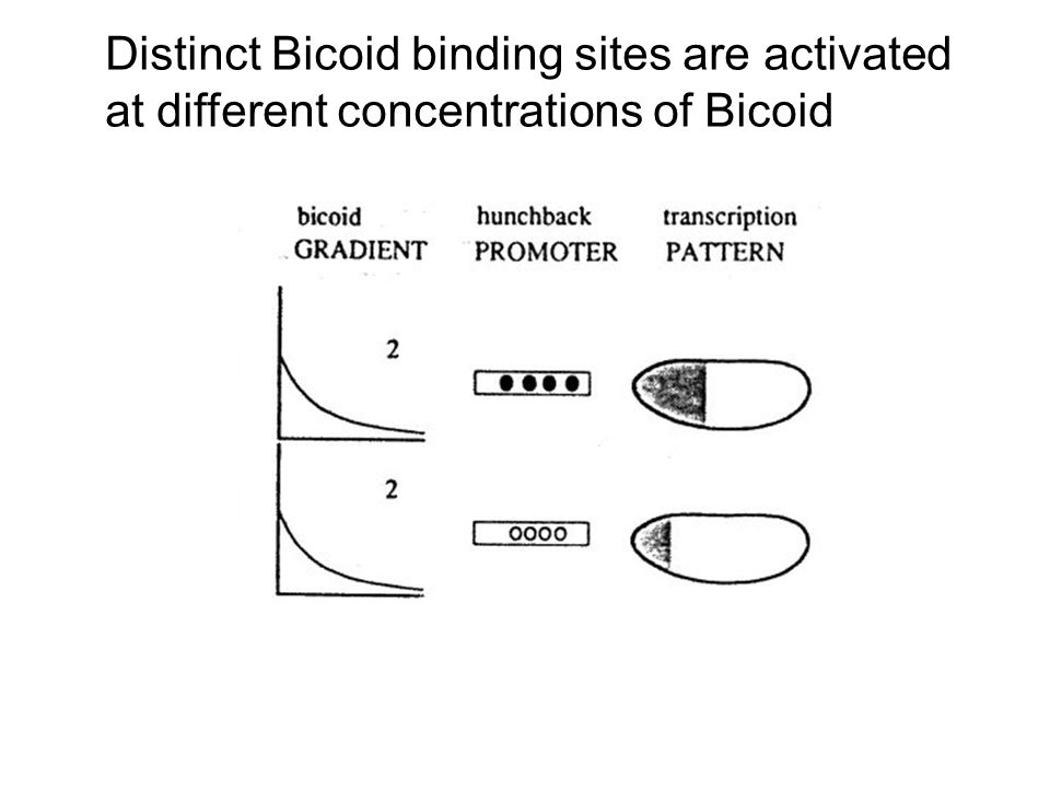 Distinct Bicoid binding sites are activated at different concentrations of Bicoid